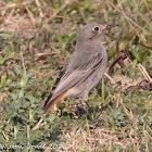 Black Redstart; Colirrojo Tizón
