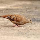 Tortolita (Ruddy ground dove)