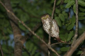 Photo: Ferruginious Pygmy-owl