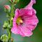 Sparkling Pink Flower 15 08 18.jpg