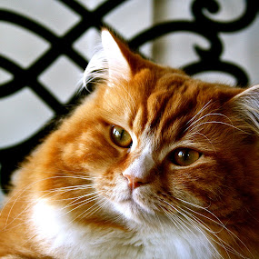 by Joelle McGraw - Animals - Cats Portraits ( look, chair, cat, ginger, fierce, big, portrait )
