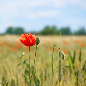poppy by Victor Pavel - Nature Up Close Flowers - 2011-2013 ( ... )