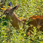 White-tailed deer, Virginia deer