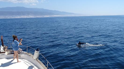 Delfines nadando junto a la Blancazul.