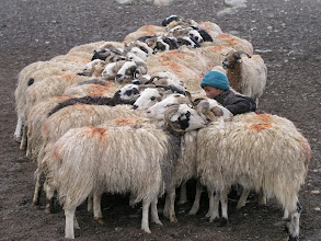 Photo: Tibetan nomad child milking the sheep