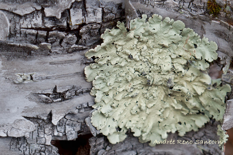 Photo: Green Lichen on Sugar Maple #TheLichenPage curated by +Dan Bowden, +Chris Mallory and me. Taken yesterday on the bog walk. I also found the same lichen on a dying paper birch.