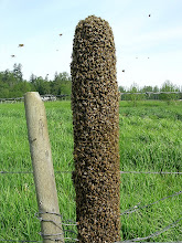 Photo: Swarm of honey bees on a fence post: 