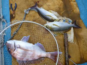 Photo: 真鯛とイサキダブル!  今日も皆さん好調に釣れてます!
