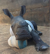 Arthur' the baby rhino who tried to save his mother from poachers.