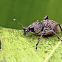 Broadnosed Weevil