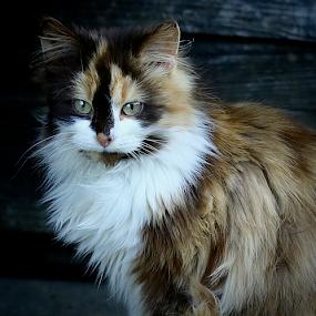 by Noel Kapica - Animals - Cats Portraits