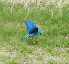 Photo: 07/06/2013 - Badlands - South Dakota - Blue Jay