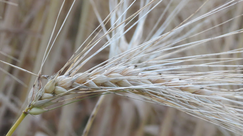 Spighe di grano... di Francesca_Mang