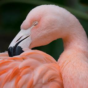 Flamingo by Fabienne Lawrence - Animals Birds ( bird photography, bird, scratch, birds, flamingo )