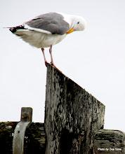 Photo: (Year 3) Day 20 - Seagull