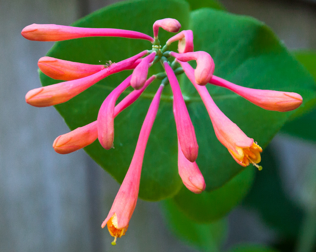 bright pink and coral-colored trumpet honeysuckle blooms with green foliage backdrop