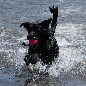 Seadog by Judy Boyle - Animals - Dogs Playing ( #sea #dog #ball #pink,  )