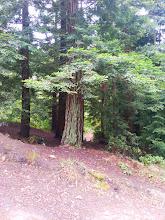 Photo: The redwood grove