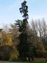 Photo: Ciprés de Lawson (Chamaecyparis lawsoniana)