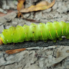 Polyphemus moth (caterpillar)