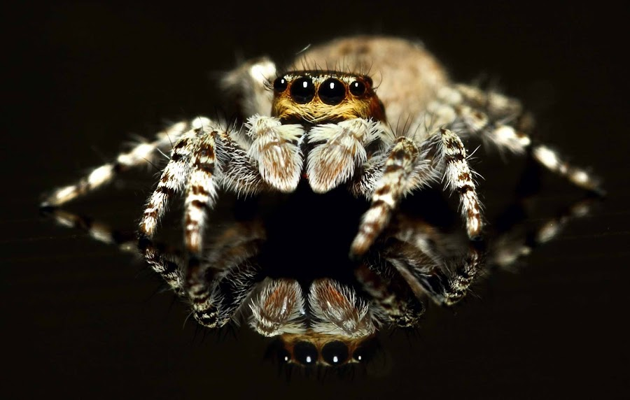 jumper And Its Reflection by Karthi Keyan - Animals Insects & Spiders ( macro, life, spider, sigma 105mm )