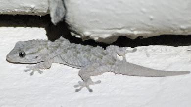 Photo: kleiner Gecko
