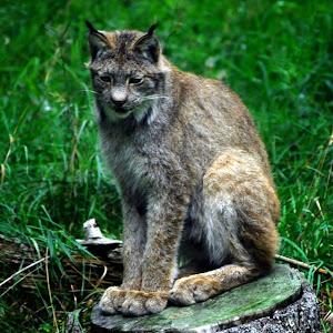 Lynx Kamloops Game Park (12).jpg