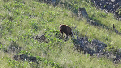 "Photo: This is the bear that inspired me to climb a tree. We were about 100 feet apart when we noticed each other. It ""huffed"" at me to tell me it didn't appreciate my presence. When it started moving closer, I climbed the tree. This location is 11 miles south of Simms and 10 miles WNW of Cascade."