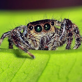 Little Spider by Dwi Riyono - Animals Insects & Spiders ( macro )
