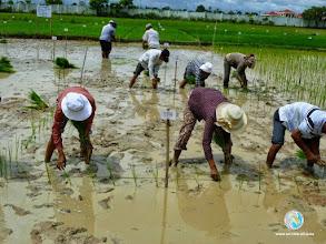 Photo: Transplantation - CFPAR for Takeo province farmers , Lvea Village, Ang Popel commune, Korng Pisey district, Kampong Speu province (28-29 Aug2014)