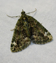 Photo: Chloroclysta siterata    Lepidoptera > Geometridae