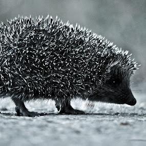 young hedgehog crossing the road by Mihai Nita - Animals Other Mammals ( hedgehog, pins, animals, asphalt, animal kingdom, nature, black and white, needles, cute, mammal cub, close-up,  )