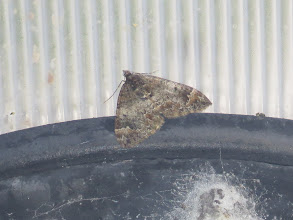 Photo: 25 Jun 13 Priorslee Lake: Common Marbled Carpet on one of the lamps. Compare with the one photographed in the tunnel last Thursday (20th): this is a more typical example. (Ed Wilson)