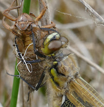 Photo: Emerging dragonfly 17 May 2015 © Keith Gittens 2015