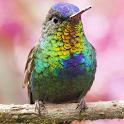 live wallpaper hummingbird icon