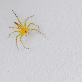 Colourful spider on a wall. by John Greene - Animals Insects & Spiders ( macro, closeup, insect, scary, danger, spider, john greene )