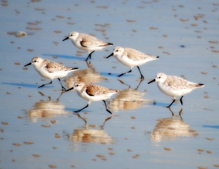 Reflections by Trisha Winters - Animals Birds ( beach, birds )