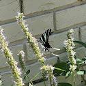 Zebra Swallow Tail