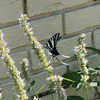Zebra Swallow Tail