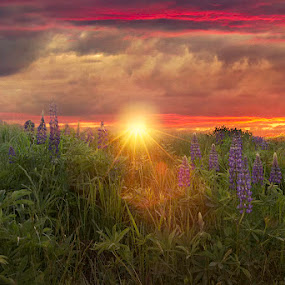 Lupin Sunset by Kathy Val - Landscapes Sunsets & Sunrises ( sky, sunset, beautiful, flowers, landscape )