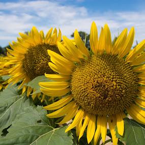 Sunflowers by Ton Hoelaars - Flowers Flower Gardens ( provence, messidor, sunflower, yellow, sun,  )
