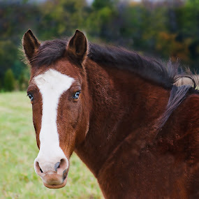 Blue-eyed Girl by Virginia Folkman - Animals Horses ( equine, horses, farms, horse, country,  )