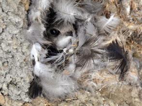 Photo: 撮影者:村山和夫 ヒメアマツバメ タイトル:ヒメアマツバメの巣(定期カウント時) 観察年月日:2014年11月7日 羽数:1羽 場所:長沼駅(京王線) 区分:行動 メッシュ:八王子9G コメント:定期カウント時に観察した。巣は羽毛、枯葉、泥で作られているように見える。入口は御丁寧に羽毛で飾られている。60年代から日本に定着し、いまは年間を通して見られる。雀が巣の一つを盗用していた。