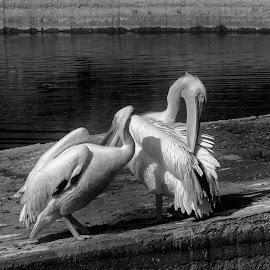 by Estislav Ploshtakov - Black & White Animals