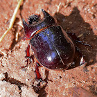 Besouro (ox beetle)
