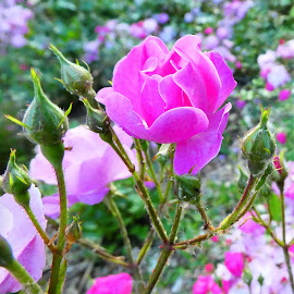 A pink rose bush by Svetlana Saenkova - Flowers Flower Gardens ( rose, pink flower )