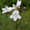Foxglove Beardtongue