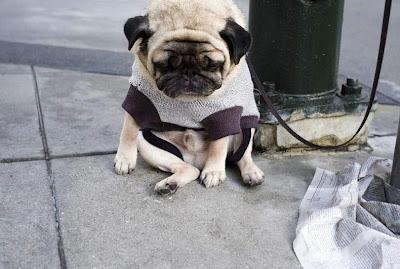飼い主を待つパグ