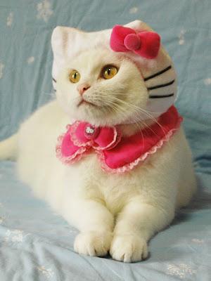 ネコにハローキティコスプレを着せた写真いろいろ