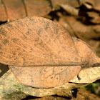 Brown lapped moth